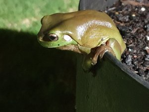 australia green tree frog in garden pot